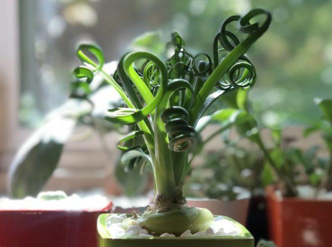 Альбука спиральная (Albuca spiralis)