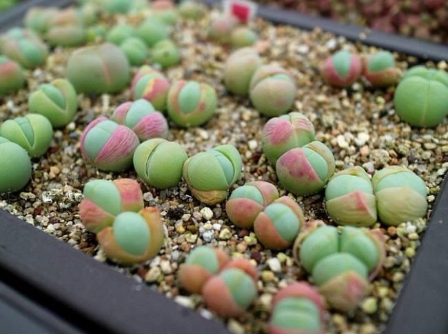 Гіббеум Хіті (Gibbaeum heathii)