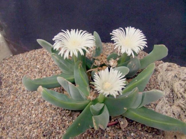 Гиббеум Швантеса (Gibbaeum schwantesii)