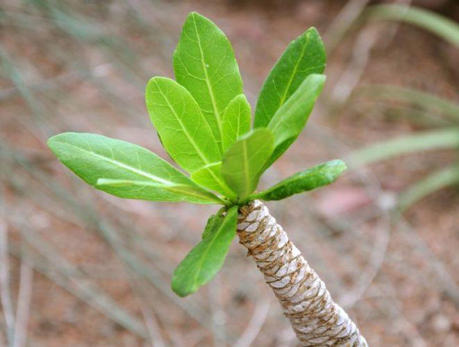 Комнатное растение бригамия