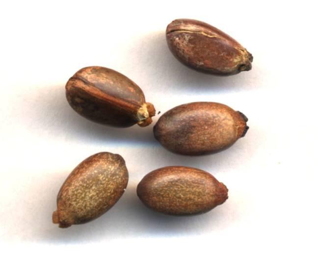 Семена растения ятрофа
