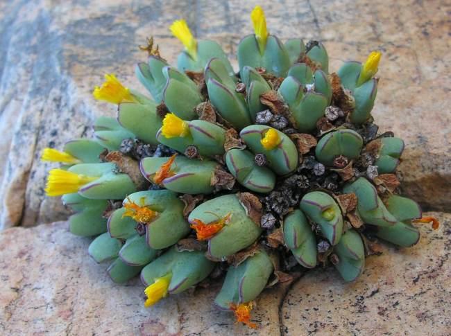 Конофитум билобум или двухлопастный (Conophytum bilobum)