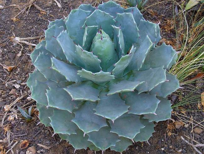 Агава потаторум чи п'яничок (Agave potatorum)