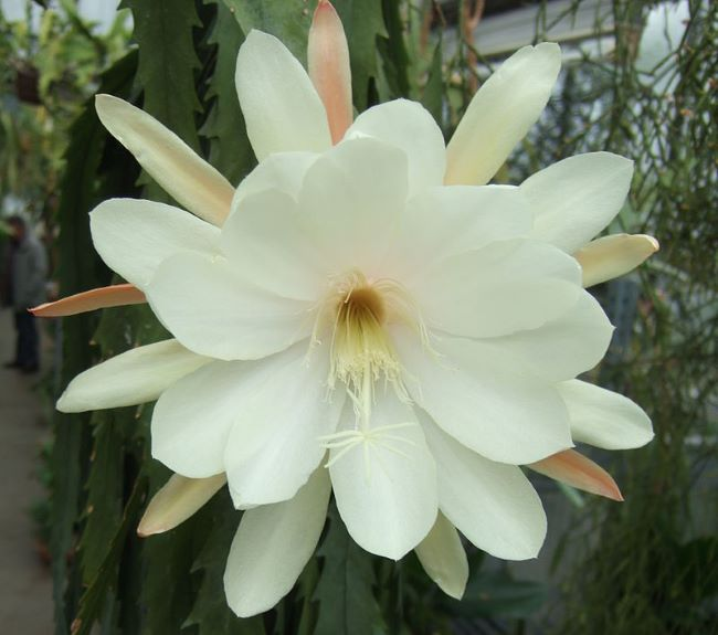 Эпифиллум Полуэфирный зазубренный (Epiphyllum crenatum)