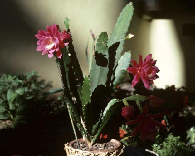 Кактус эпифиллум