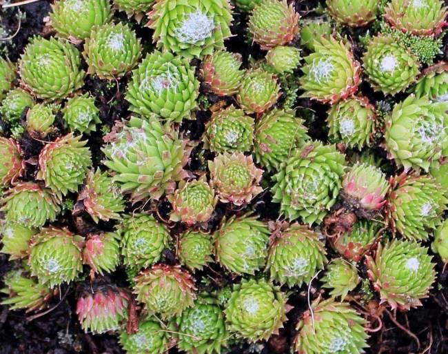 Sempervivum Barbulatum