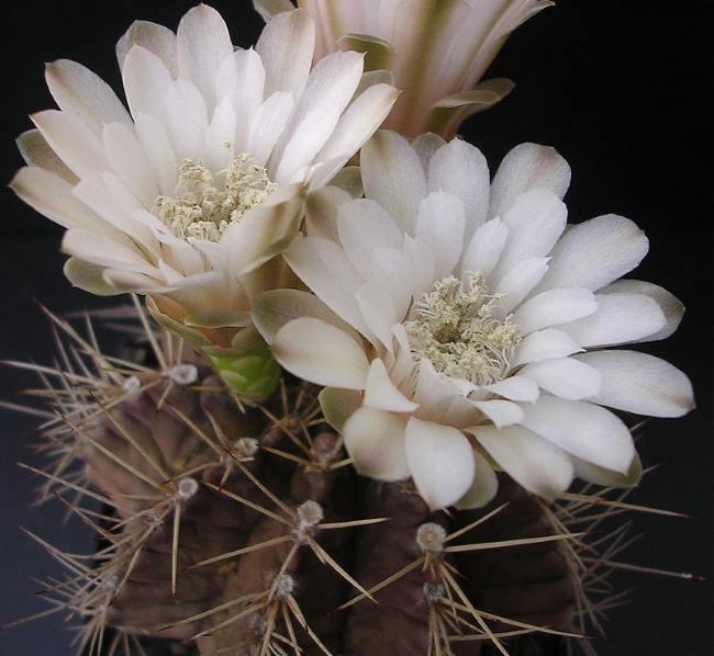 Кактус Гимнокалициум Михановича (Gymnocalycium mihanovichii)