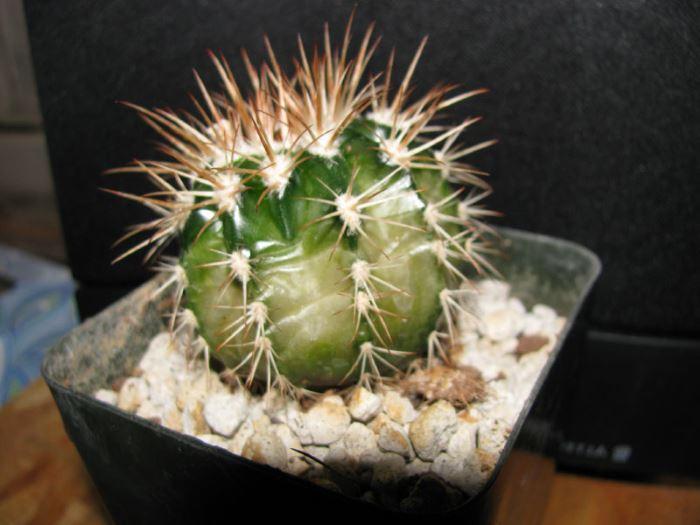 Обмороження кактусу