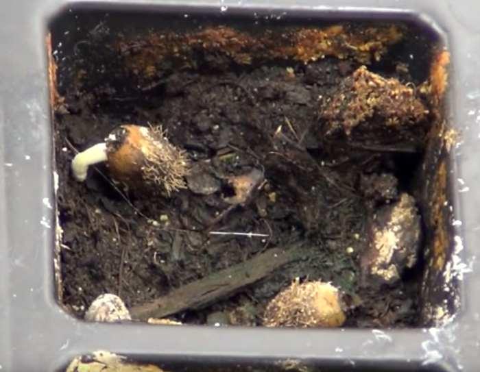 Размножение брахихитона из семян