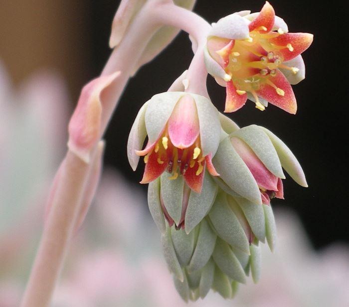 Цветы Пахиверии