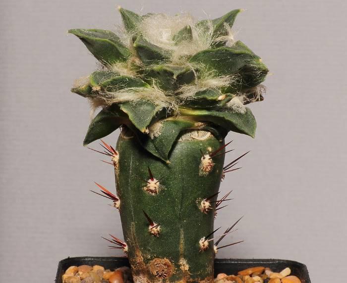 Фото привитого кактуса Арокарпуса