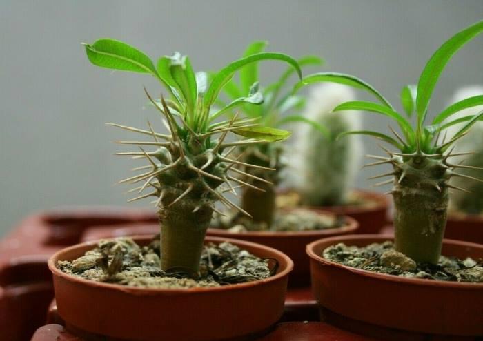 "Розмноження сукуленту ""Мадагаскарська пальма"""