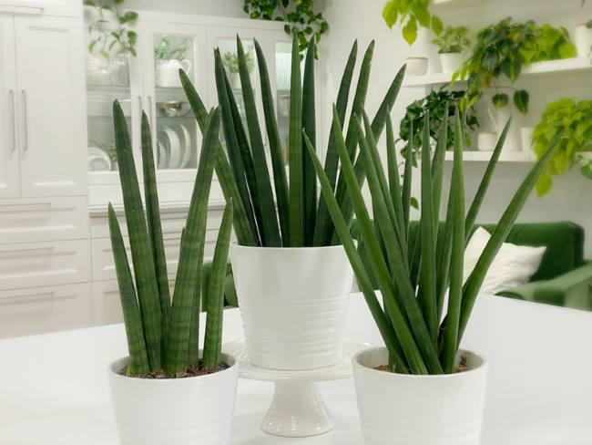 Сансевьера цилиндрическая (Sansevieria cylindrica)