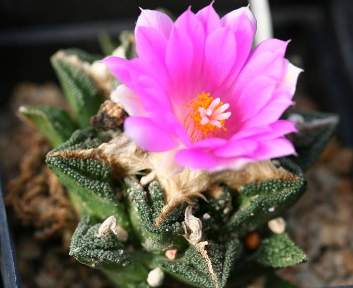 Уход за кактусом Ариокарпус