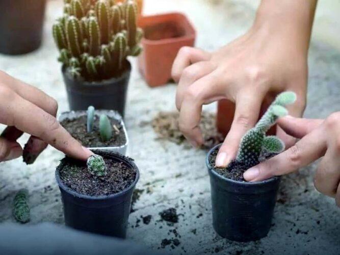 Какие методы размножения кактусов применяют в домашних условиях