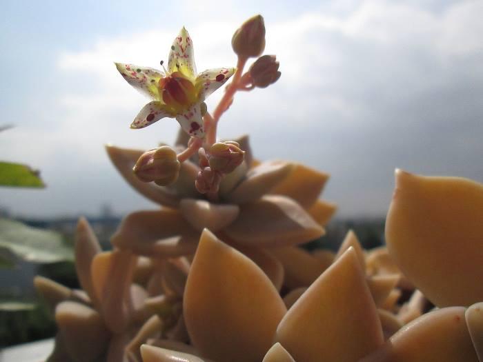 Цветение Граптопеталума
