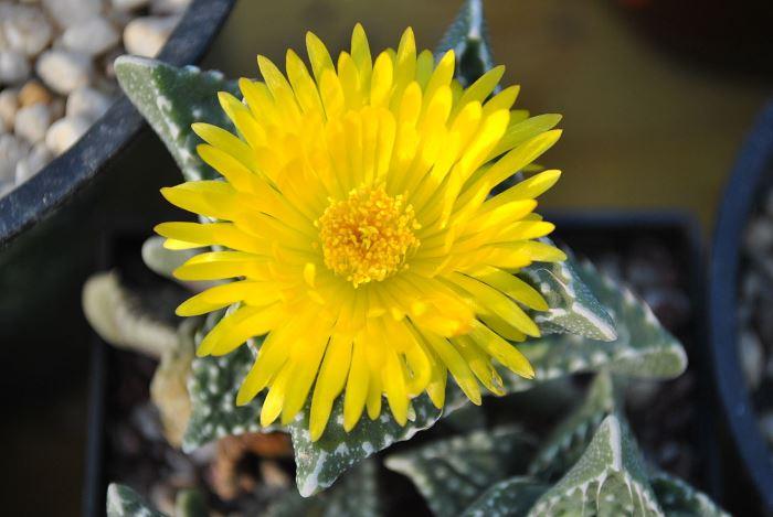 Квітка Фаукарії