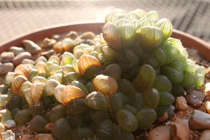Haworthia cooperi Obtusa (Хавортія обтуза)