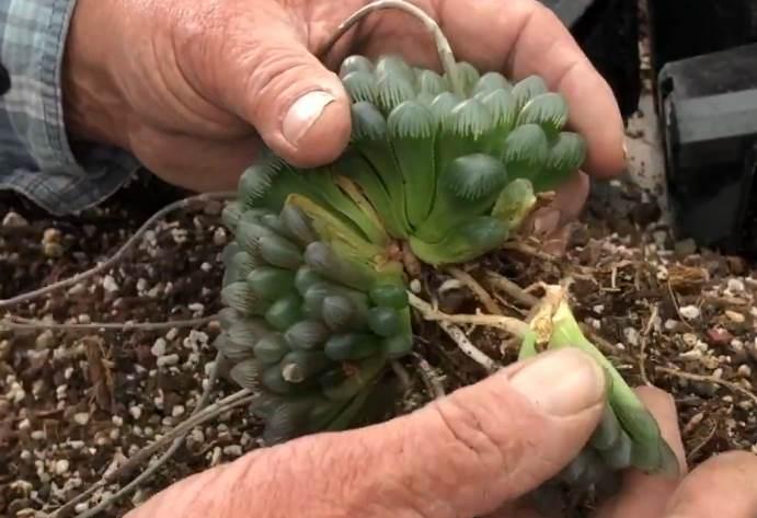 розмноження рослини Хавортіїкупера
