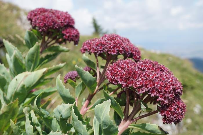 Фото очиток пурпуровий в природі