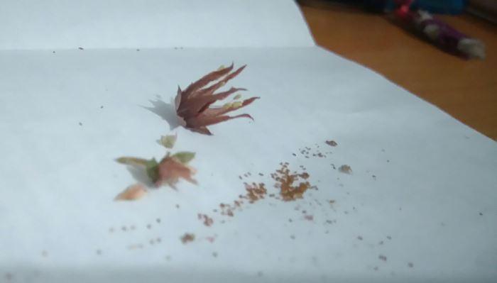 Фото семян Эчеверии агавовой