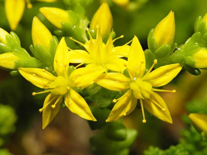 Фото цветов Седума или Очитка едкого