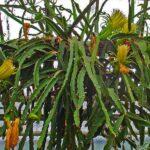 Епіфітні кактуси