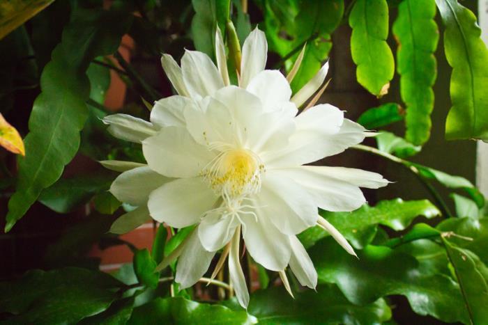 Фото Epiphyllum oxypetalum