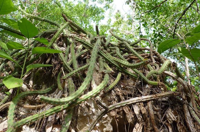 Фото эпифитного кактуса в тропическом лесу