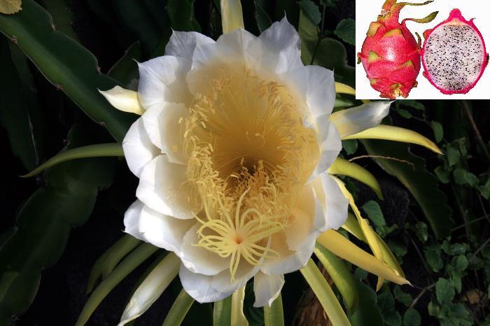 Фото цветов и плодов Гилоцереус извилистый (Hylocereus undatus)
