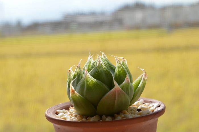 Фото Haworthia cymbiformis var. ramosa