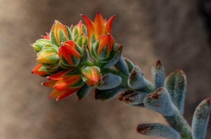 Фото квіток Ехеверії біловолосистої