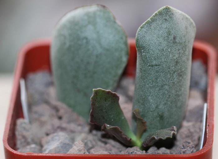Фото размножения Адромискуса Купера листками