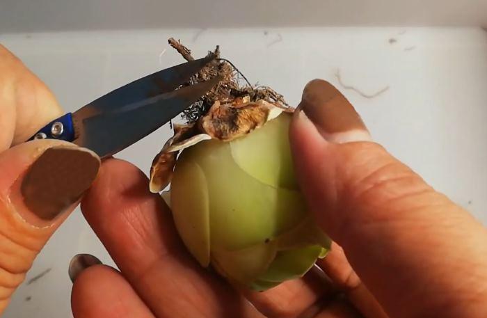 Обрезка корней цветка во время пересадки