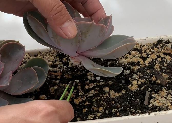 Розмноження Ехеверії Перлина Нюнберга розеткою
