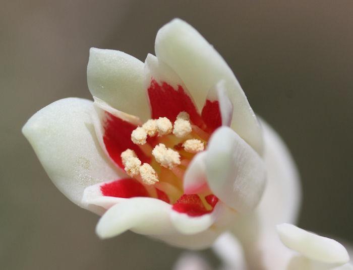 Фото цветов пахифитума