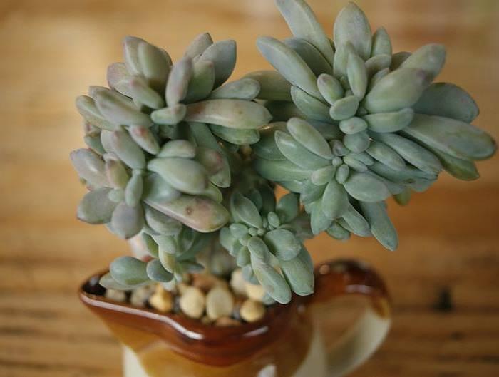 Фото Sedum pachyphyllum f. cristatum