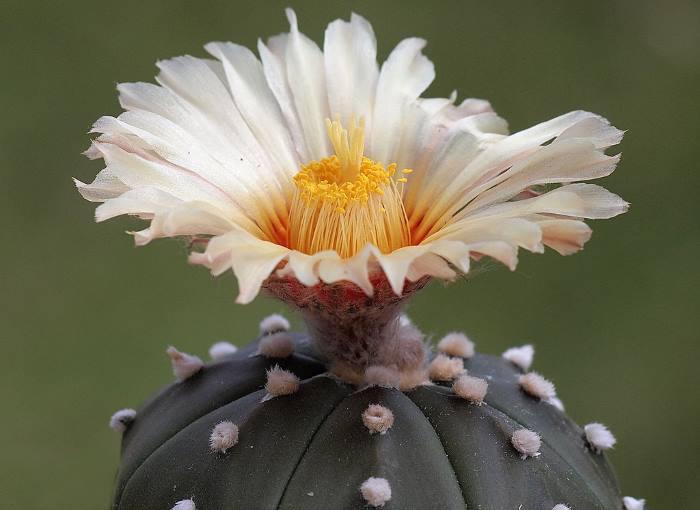 Фото Astrophytum asterias var. nudum