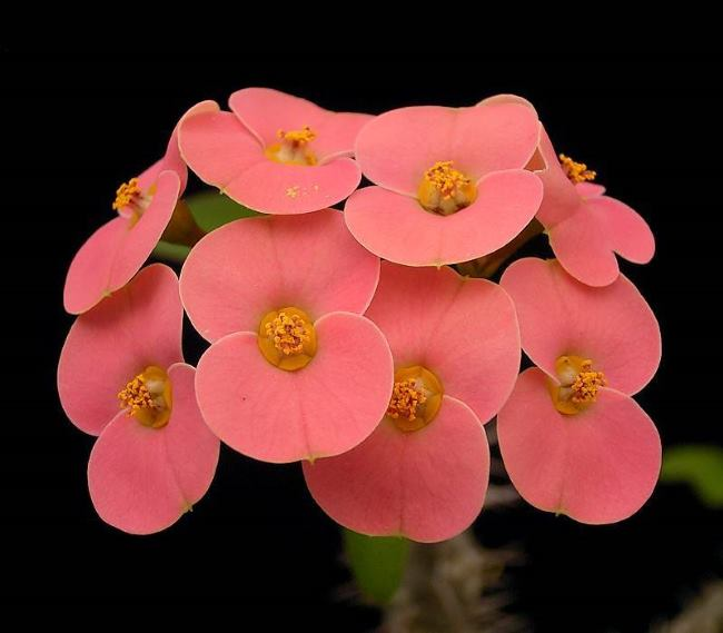 Euphorbia milii var. tenuispina