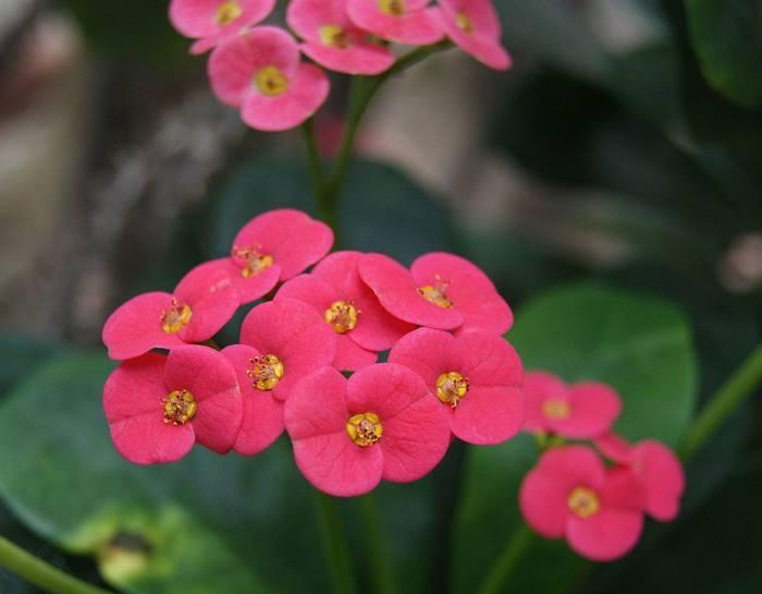 Фото квітівв Euphorbia x lomii