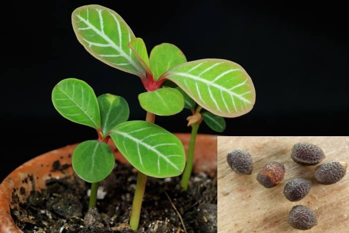 Фото семян и растений Молочая беложилкового