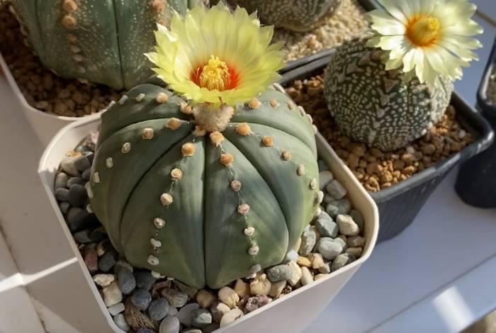 Фото квітокв кактусу Астрофітум астеріас