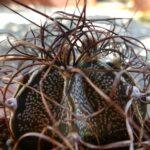 Астрофітум козерогий (Astrophytum capricorne)