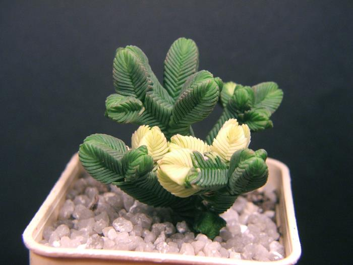 Crassula pyramidalis variegata