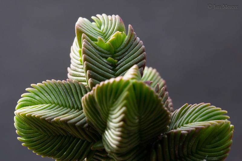 Крассула или Толстянка пирамидальная (Crassula pyramidalis)