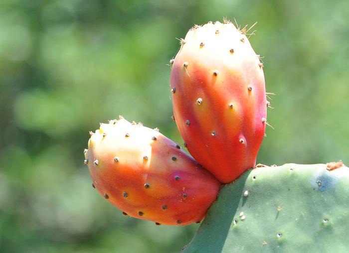 Фото плодов Индийского инжира