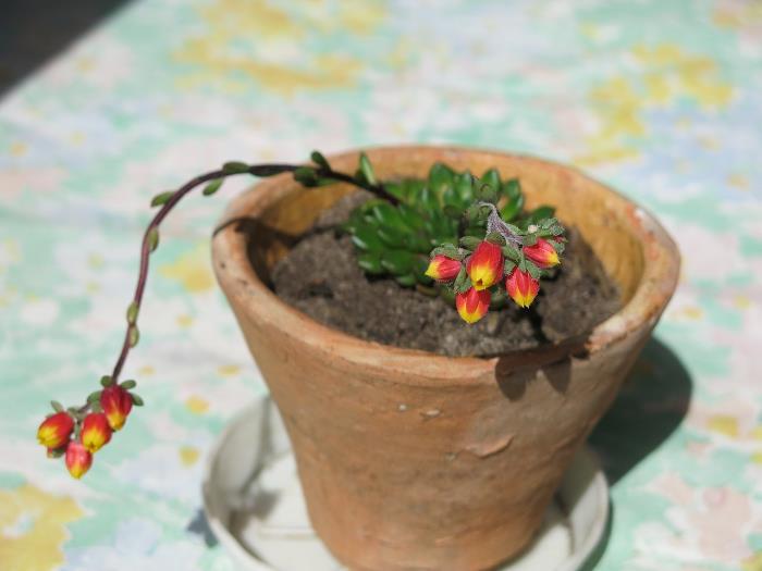 Фото квіток «Мексиканской жемчужины»
