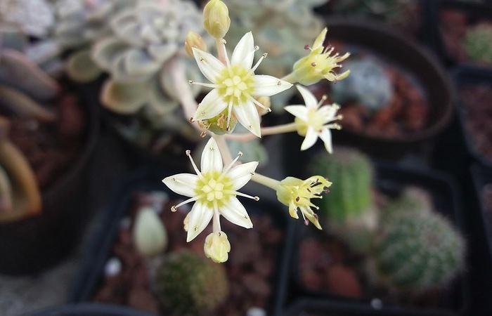 Фото квіток Седум булавоподібний