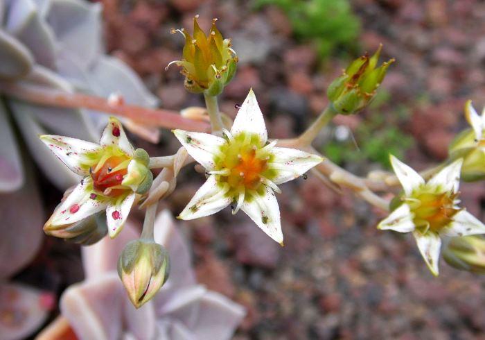 Фото цветов Граптопеталума парагвайского
