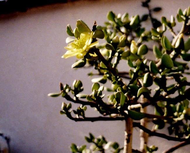 Фото квітки Перескіопсісу